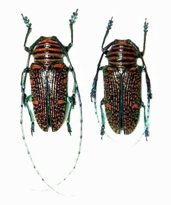 Taxidermy - real papered insects : Cerambycidae : Zographus regalis cuprea PAIR