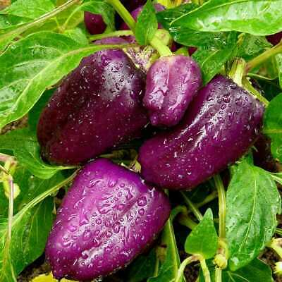 Capsicum 'PURPLE BEAUTY' 10+ Seeds HEIRLOOM spring vegetable garden SWEET pepper