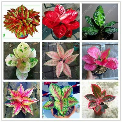 50 pcs/bag Aglaonema Pink Dud beautiful Mosaic plants perennial evergreen trees