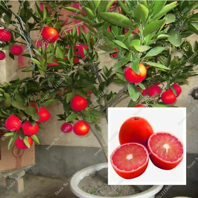 20 Pcs Red Lemon Seeds New Arrival Drawf Tree Bonsai Organic Fruit for Home Gard