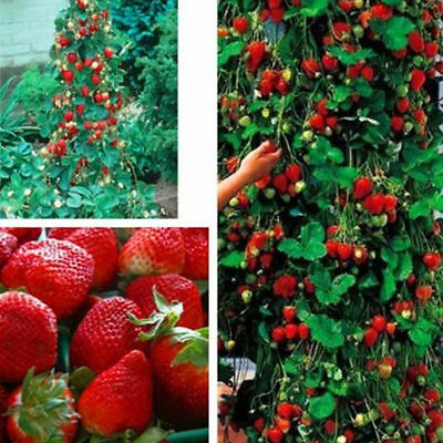 Red 100pcs Climbing Strawberry Seeds Fruit Vegetables Plants Seed Home Garden