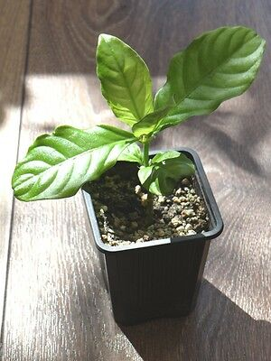 Chacruna tree ( Psychotria viridis ) * 3 leafs , Cuttings * !