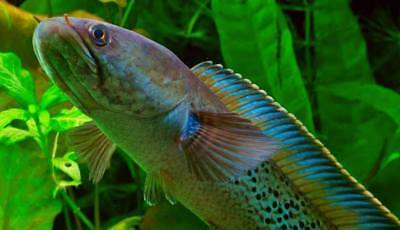 "Snakehead - Channa stewartii - The ""Violet"" variant - FIVE young fish"