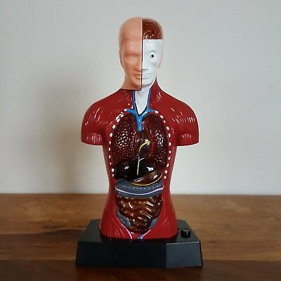 Kids Medical Educational Anatomical Human Torso Body Model With Light Up Heart