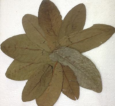 Guava Leaves - Food for Shrimps, Crabs, Catfish & Co