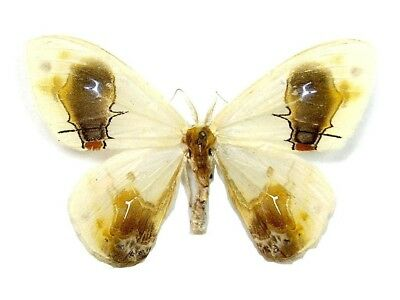 Taxidermy - real papered insects : Drepanidae : Macrocilix maia!!