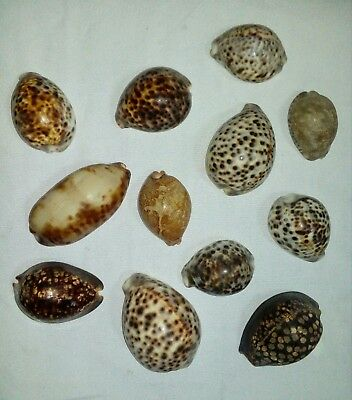 bulk cowrie shells huge collectable natural sea shell