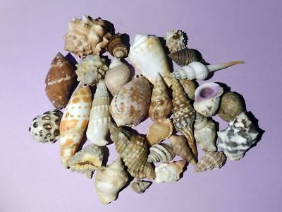 Coquillages, Shells, lot : 28 spécimens assortis