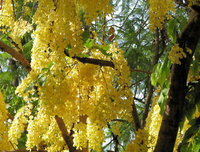15 GOLDEN RAIN TREE Goldenrain Koelreuteria Paniculata Seeds