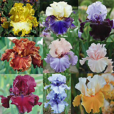 TALL BEARDED IRIS - Collection of 10 different colours and patterns. Lovely!