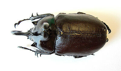 Coleoptera Dynastidae Eupatorus birmanicus Male 55mm Dried Insect Beetle