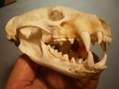Badger Taxidermy SKULL 5 1/4   inches HUGE great teeth