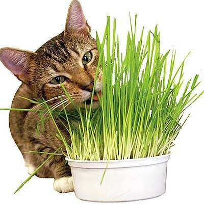 90g 100% Pure Natural Oat Grass Seeds Cat Rabbit Pet - 2,200 + seeds