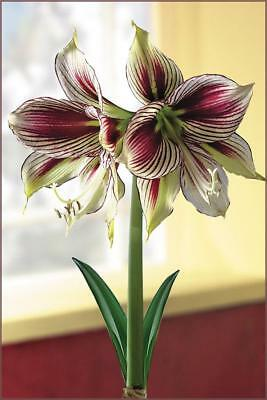 Indoor Papilio Dutch Amaryllis bulb Hippeastrum Butterfly Red Green