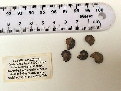 5 small Fossil Ammonites beautiful