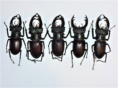 Very Nice Lot Of 5 Lucanus Cervus Cervus Lucanidae Lucaniidae South West France
