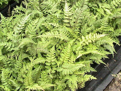 3 Hardy Ferns Collection 3 Different Ferns All Hardy