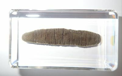 Horse Leech Whitmania pigra Clear Paperweight Education Real Animal Specimen