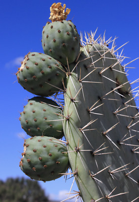 10 seeds Opuntia robusta GIANT PRICKLY PEAR CACTUS