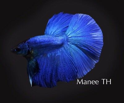Betta HM Blue
