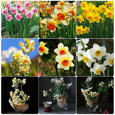 400seeds Narcissus Duo Bulbs Scented Pastel Mixed Daffodil Spring Plant Flower