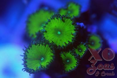 Nuclear Green Zoas Zoanthids Palys 7 Polyp Frag Plug Soft Marine Coral Palythoa