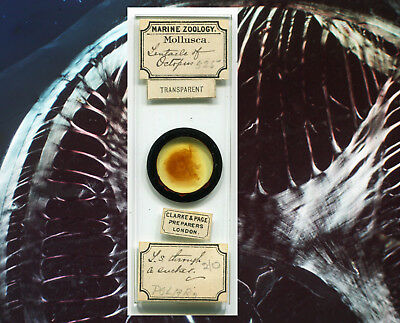 Octopus Tentacle Microscope Slide by Clarke & Page