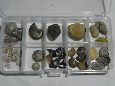 lote cajita mix fosil  ammonite erizo urchin fossil lot shark