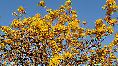 "Exotic collectable. Handroanthus chrysotrichus ""Yellow Trumpet Tree"". Seedling."