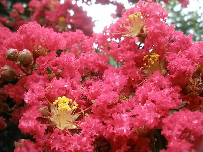 Lagerstroemia indica Comanche (CREPE MYRTLE) in 75mm supergro tube