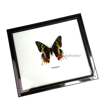 Real Madagascar Sunset Moth Butterfly Taxidermy Glass Framed Display Home Decor