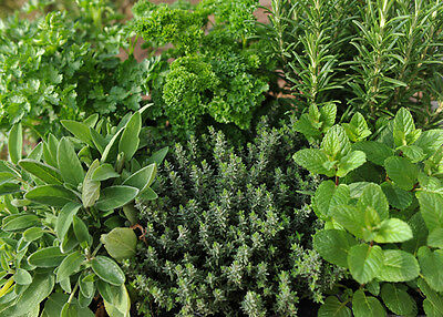 8 Mixed Herb Plug Plants For £7.99 Postage Included