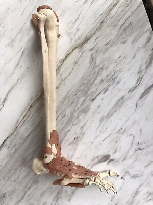 Life Size Anatomical Leg & Foot Skeleton Medical Teaching Model or Halloween