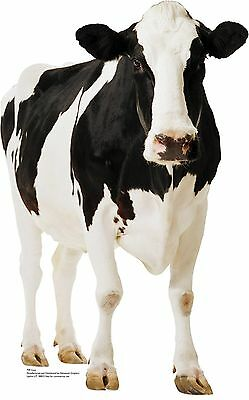 #709 Cow Cardboard cut-out from America Lifesize