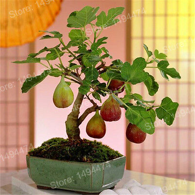 Miniature Fig Tree Fruit Bonsai Seeds House Indoor Outdoor Plants Home Gardening