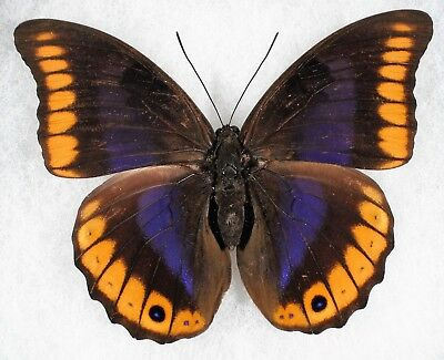 Insect/Butterfly/ Prepona brooksiana escalantiana - Female 4 1/4""