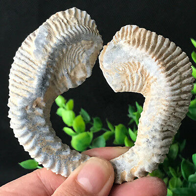 93g1pairs Natural Rough ZIPPER OYSTER FOSSIL specimen From Madagascar 284