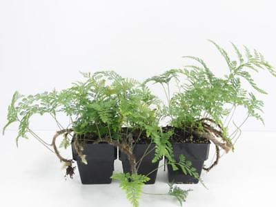 3 Plants | Davallia fejeensis - Rabbits Foot Fern Houseplants