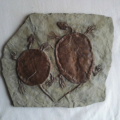 Manchurochelys liaoxiensis Turtle Fossil Skeleton With Skull Claws Cretaceous