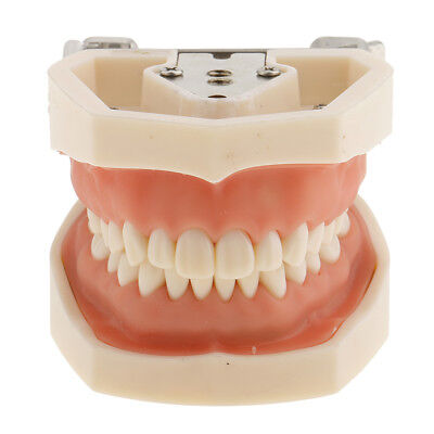 Dental Teeth Study Model Adult Typodont Demonstration Standard Model