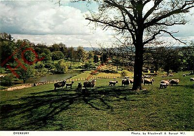 Picture Postcard- Overbury, Sheep