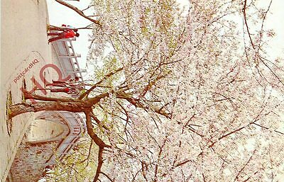 Picture Postcard-:China, Cherry Blossoms Beside Changchun Bridge