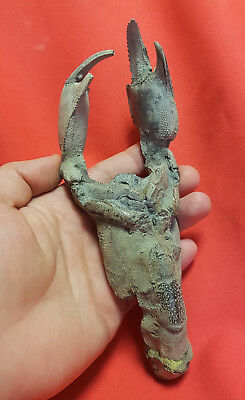 Huge fossil mud lobster - Thalassina sp. Indonesia - 200 x 70 x 35 mm - 240g