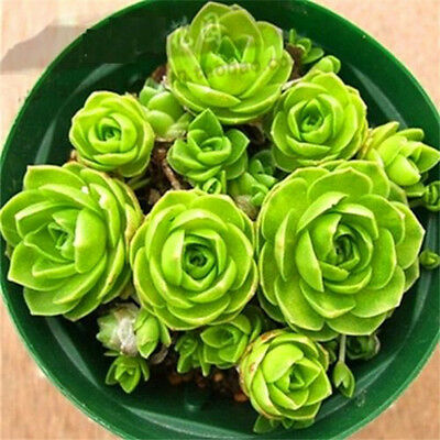 Green Succulents Seeds Potted Flower Organic Seeds ~1 Bag 50 Seeds~