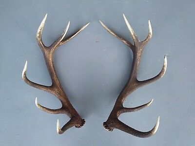 GREAT PAIR OF EUROPEAN RED STAG ANTLERS  taxidermy skull hunting