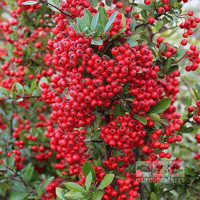 Evergreen*Artificiai Fence*Red Shrub Firethorn ''PYRACANTHA''30-Seeds*UK Seller