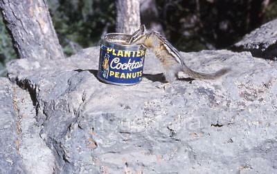 426B Orig 1960's Slide Cute Chipmunk Steals Peanuts From Planters Cocktail Tin