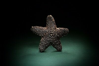 Euretaster spec. Pterasteridae Seestern cushion Starfish sea star conch