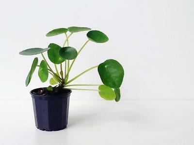 """1x PILEA PEPEROMIOIDES """"CHINESE MONEY PLANT"""" Rare House Plants Indoor Plant"""