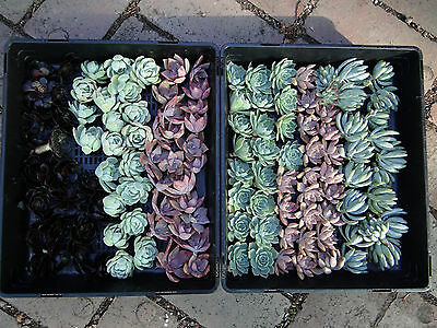 Wedding/gift succulent cuttings 4 great types,shapes & contrast 60 plus 60 pots